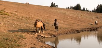 Herd of wild horses at waterhole in the early morning in the Pryor Mountains Wild Horse Range in Montana USA Royalty Free Stock Photography