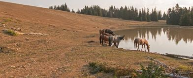 Herd of wild horses at waterhole in the early morning in the Pryor Mountains Wild Horse Range in Montana USA Stock Images