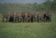Herd of Wild Indian Elephants Royalty Free Stock Images