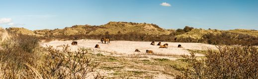 A herd of wild Konik horses in a dune valley, resting in the san royalty free stock image