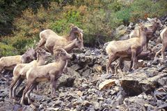 Herd of wild Mountain Goats, Denver, CO Stock Photo