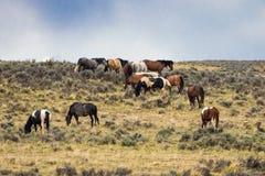 Herd of Wild Mustang Horses. A herd wild mustang horse in Wyoming royalty free stock photos
