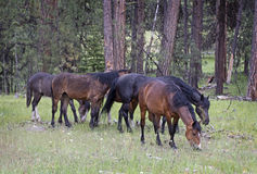 Herd of Wild Mustang Horses Grazing in Forest Royalty Free Stock Photos