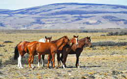 The herd of wild mustangs Royalty Free Stock Photo