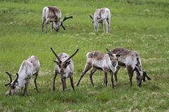 Herd of wild reindeer Royalty Free Stock Photography