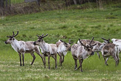 Herd of wild reindeer. A herd of wild reindeer on a Norwegian meadow in spring royalty free stock image