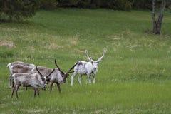 Herd of wild reindeer Royalty Free Stock Photos