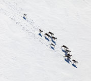 Herd of wild reindeer, top view Stock Images