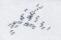 Herd of wild reindeer, top view Royalty Free Stock Photo