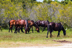 Herd of Wild Spanish Mustangs on the Outer Banks Stock Image