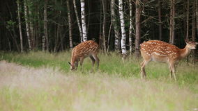 Herd of wild spotted deer grazing stock video footage