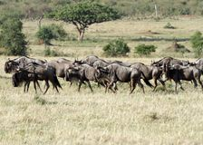 A herd of wild wildebeests in Savannah Stock Photography