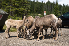 Herd of wild young bighorn sheep eating gravel at parking lot stock image