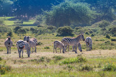 Herd of wild zebras Stock Photography
