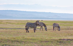 Herd of wild zebras Stock Photo