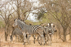 Herd of wild zebras in the bush, Kruger, South Africa Stock Photo