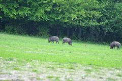 Herd of wildboar on the meadow Royalty Free Stock Images