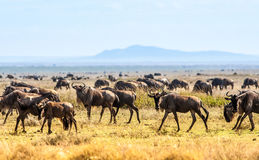 Herd of wildebeast Royalty Free Stock Photo