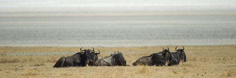 Herd of wildebeest. A herd of wildbeest lying on the savannah Royalty Free Stock Images