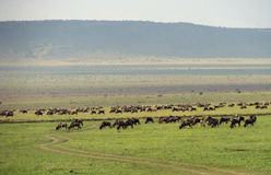 Herd of wildebeest Royalty Free Stock Images