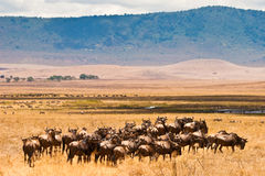 A herd of wildebeest antelopes. On the serengeti Tanzania Royalty Free Stock Photography