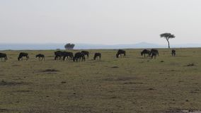 A herd of wildebeest antelopes runs savannas in an African preserve. A herd of wildebeest eats grass on the fields in an African preserve against the backdrop stock video footage