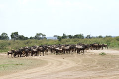A herd of wildebeest on the bank of Mara river Royalty Free Stock Images