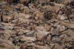 A herd of wildebeest build up the courage to swim across the Nile river during the wildebeest migration stock image