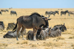 Herd of wildebeest (Connochaetes). In the Etosha National Park, Namibia Royalty Free Stock Image