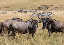 Herd of wildebeest and dazzle of zebra grazing in the tall grass of the Masai Mara during the wildbeest migration royalty free stock photo