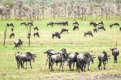 Herd of Wildebeest on Grassland Royalty Free Stock Images