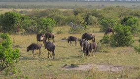 A herd of wildebeest is grazed in the bushes of the African reserve. A herd of wildebeest and zebras eating grass on the fields in an African preserve against stock video footage