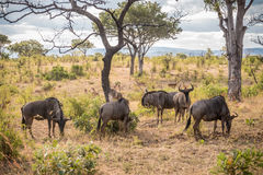 Herd of Wildebeest grazing in Kruger National Park Royalty Free Stock Photography