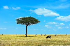 A herd of wildebeest royalty free stock images