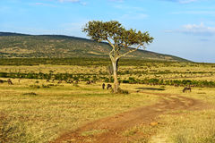 A herd of wildebeest stock image