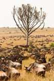 Herd of wildebeest grazing together in African savanna Stock Photos