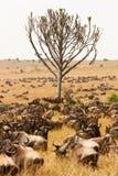 Herd of wildebeest grazing together in African savanna. Herd of wildebeest grazing together on grasslands of African savanna, seasonally migrating for food Stock Photos