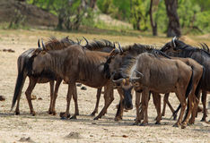Herd of Wildebeest on the Hwange Plains Royalty Free Stock Photo