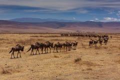 Herd of wildebeest leaving to the horizon. Photo taken during the safari in Ngorongoro area. Tanzania stock image