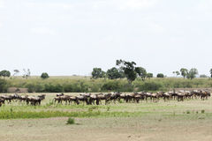 A herd of wildebeest near Mara river Royalty Free Stock Image