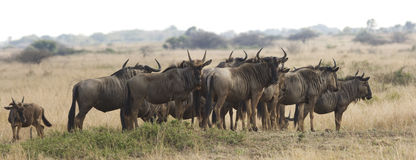 Herd Of Wildebeest On Safari. A herd of wildebeest on the grassland at Phinda Game Reserve in South Africa. The blue wildebeest (connochaetes taurinus) is a Stock Images