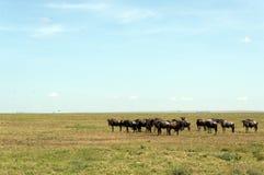 Herd of wildebeest Stock Images