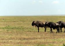 Herd of wildebeest Stock Photography