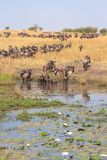 Herd of wildebeest on the shore of the pond with lily Kenya, Africa stock photography