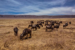 Herd of wildebeest standing Stock Photos