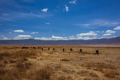 Herd of wildebeest standing. Photo taken during the safari in Ngorongoro area. Tanzania Royalty Free Stock Images
