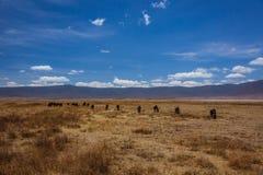 Herd of wildebeest standing Royalty Free Stock Images