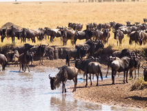 Herd of wildebeest stands on the banks the river Stock Photos