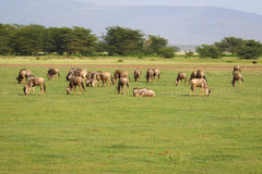 Herd of wildebeest Royalty Free Stock Photography