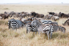 Herd of wildebeest and zebra grazing on grasslands of African savanna Royalty Free Stock Photos